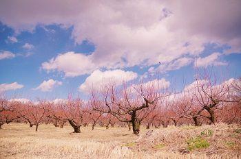 春のリンゴの木