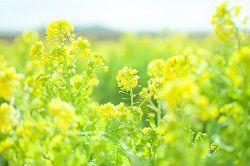 菜の花と高配当